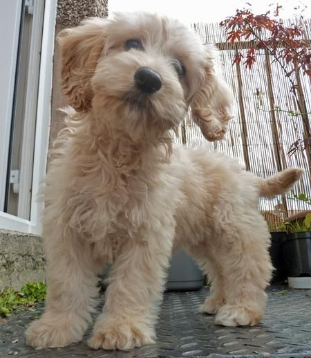 'Elbee' (for Little Bear) the Cockapoo puppy