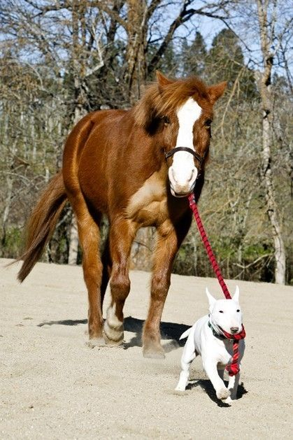 #English #Bull #Terrier and Horse