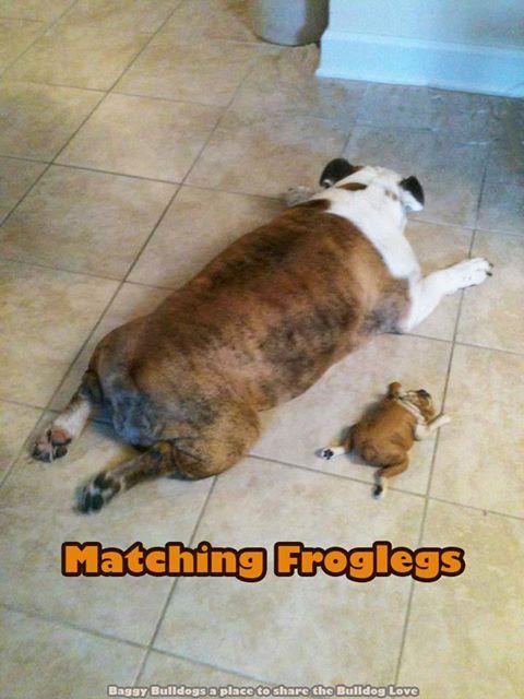 English Bulldog ~ Baggy Bulldogs