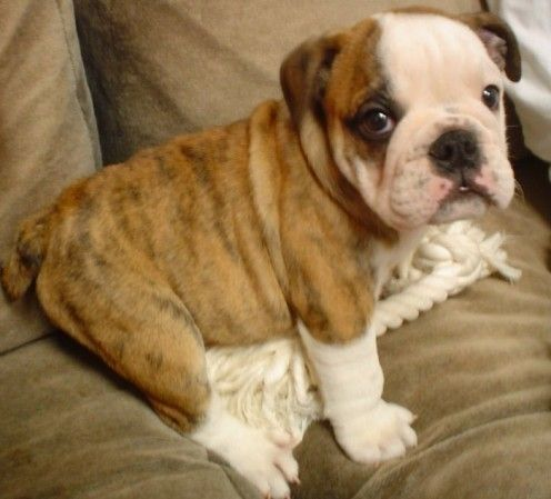 English Bulldogs are a loveable breed that require lots of extra care. Learn how to care for your bulldog so he or she can live a longer, healthier life.