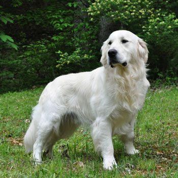 English Cream Retrievers | English Cream Golden Retriever Puppies