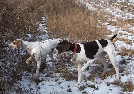 english pointer dog photo | Corwyn Pointers - Pennsylvania English Pointer Breeders - Gun Dog ...