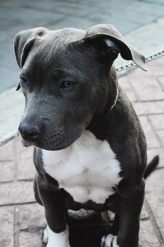 "envyavenue: "" Blue Nose Pitbull by Edwin Lara """