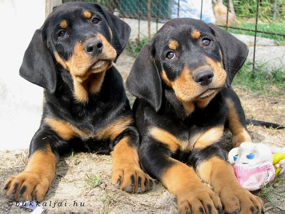 Erdelyi Kopo (Transylvanian hound) Hungarian dog breed.