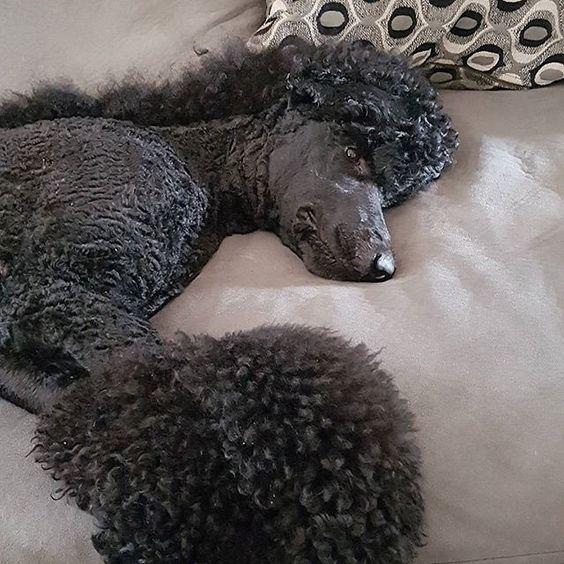 #fancydogs #standardpoodle #standardpoodles #standardpoodlesofinstagram #poodle #poodles #ilovelouis #bestdog #dogs #amazingpets #dogsofinstagram #blackpoodles