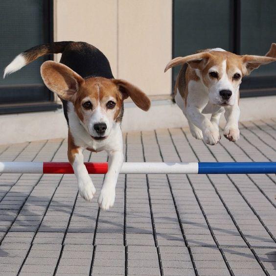 flying beagles