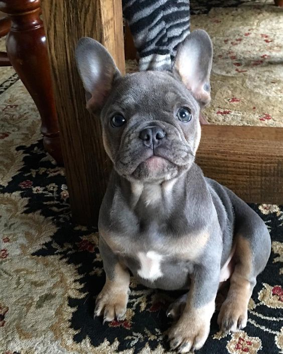 Follow our friends @bluebuddhafrenchies @bluebuddhafrenchies @bluebuddhafrenchies Tag A Friend by puppystagrams
