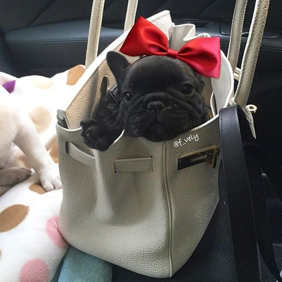 French Bulldog Puppy♥♥♥