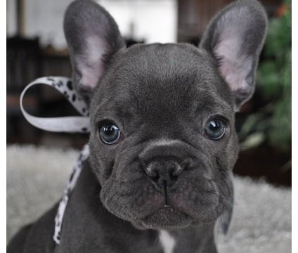 frenchton dogs