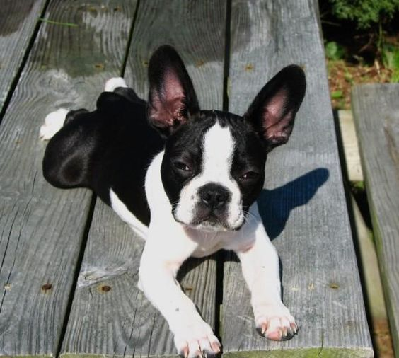 Frenchton: half Boston half Frenchie. how do I get this?! Sooooo cute