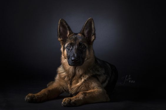 German shepherd Roxy - German shepherd dog