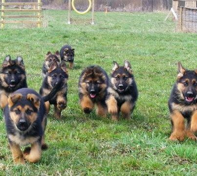 German Shepherds on the run for dinner and mommy love u guys