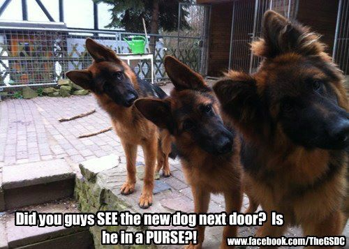German Shepherds.