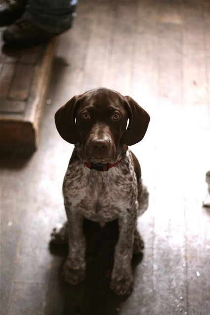 German shorthair pointer puppy