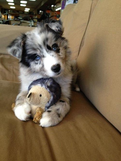 Goberian (Golden Retriever + Siberian Husky) puppy ... Sooo precious!