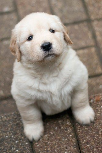 Golden Retriever-If I ever get to own a home this WILL be the little man of the house!