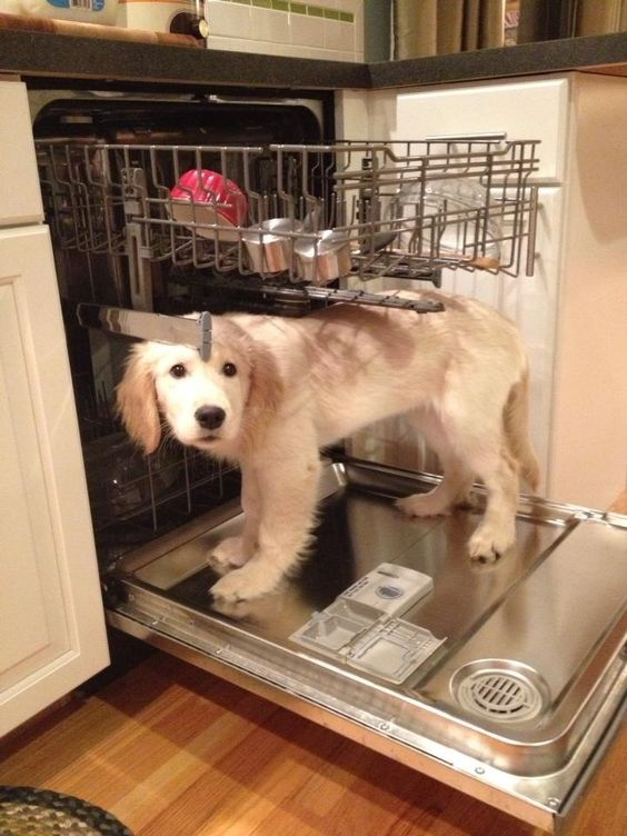 golden retriever pup likes the dishwasher