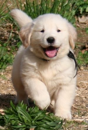 Golden Retriever , want this baby.