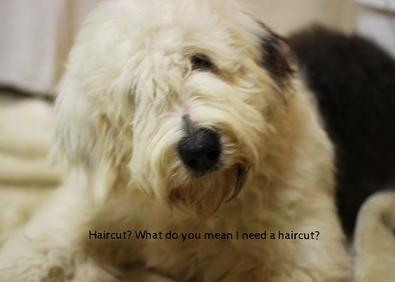 Golden Valley Doodles ~ Yes, you've just found your new love. | A morning in the life of a   #breeder #goldendoodle #labradoodle #doubledoodle #goldenvalleydoodles #sheepadoodles