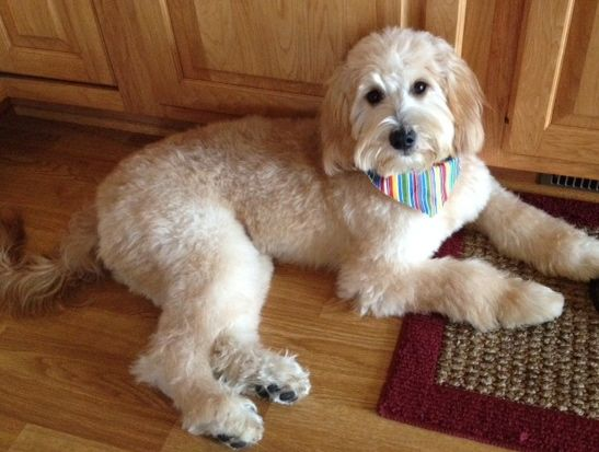 Goldendoodle Haircut Pictures Goldendoodle Haircuts Bentley