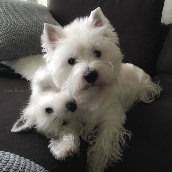 Good morning everyone hope you all have a great day! We love to start the day with cuddles by emma_the_westie