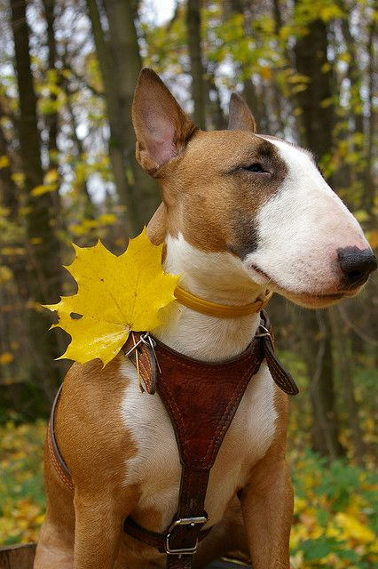 Gorgeous Fella! #Bull #Terrier #Dog #Dogs #Terriers #Animal #Puppy #Cute #Funny #DogFashion