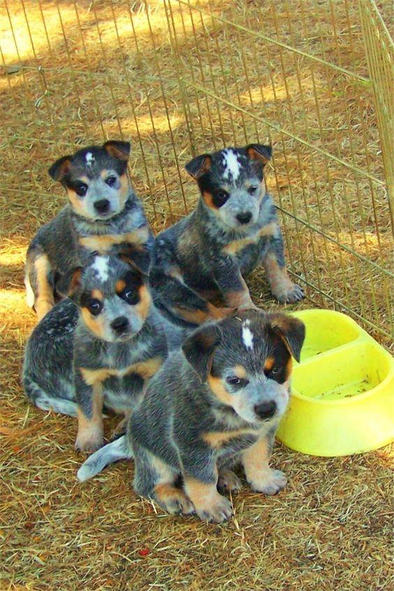 Gorgeous little australian blue cattle dog puppies