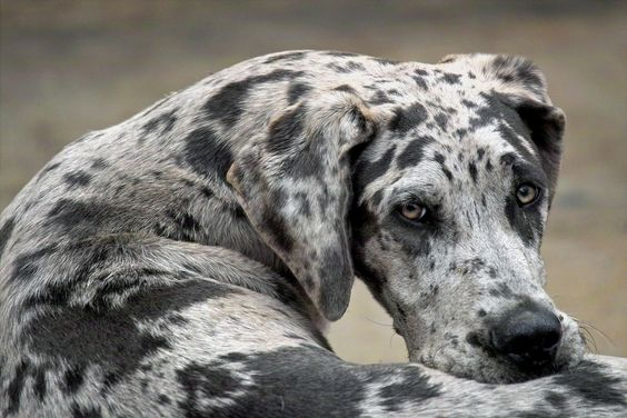 Great Dane | Top Ten Laziest Dog Breeds | PuppyLeaks