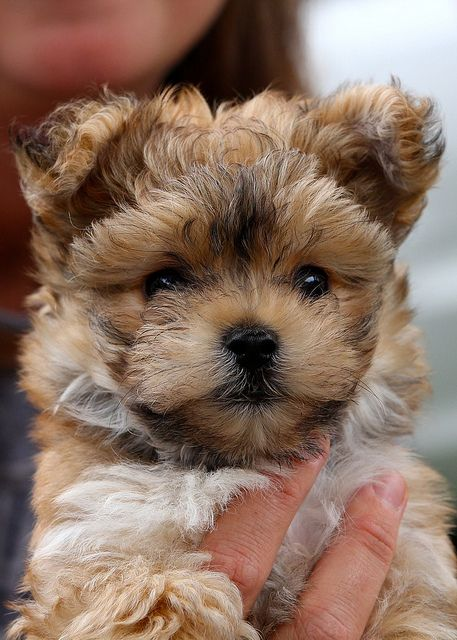 Grizzly #morkie #dogs #cute