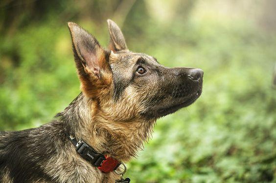 GSD Puppy-Kaiser