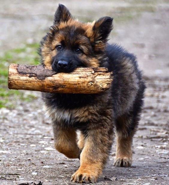 GSD Puppy-Wulfi