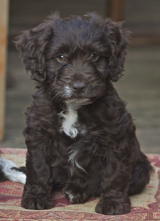 guess who's getting one of these when we get our own place? Callum and I! Cockapoo puppies are the absolute cutest ♥!
