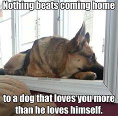 guilty german shepherd puppies - Google Search