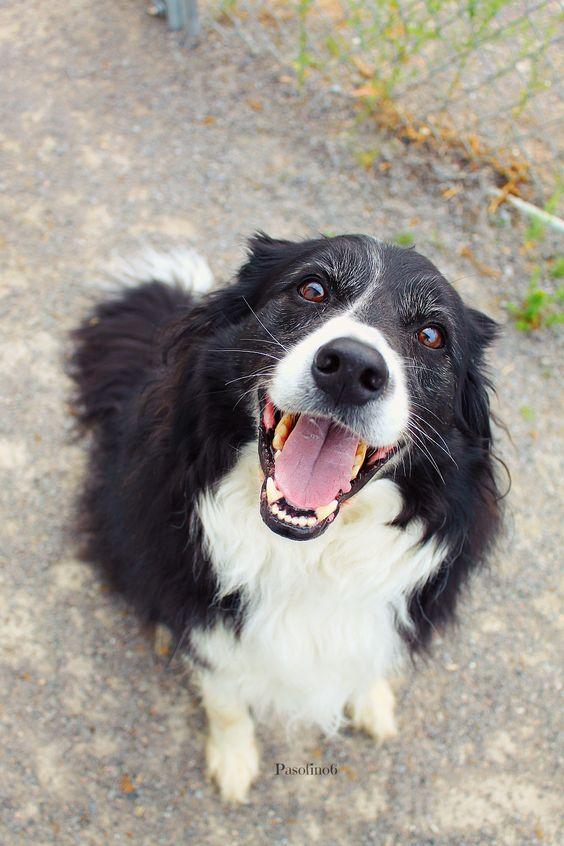 happy border collie :-)
