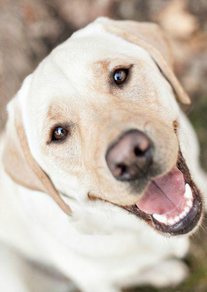Happy Yellow Labrador