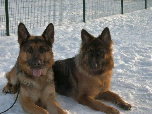 Hardy German Shepherds
