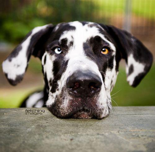 Harlequin Great Dane. Like my Cheyenne, one blue eye & one brown eye.