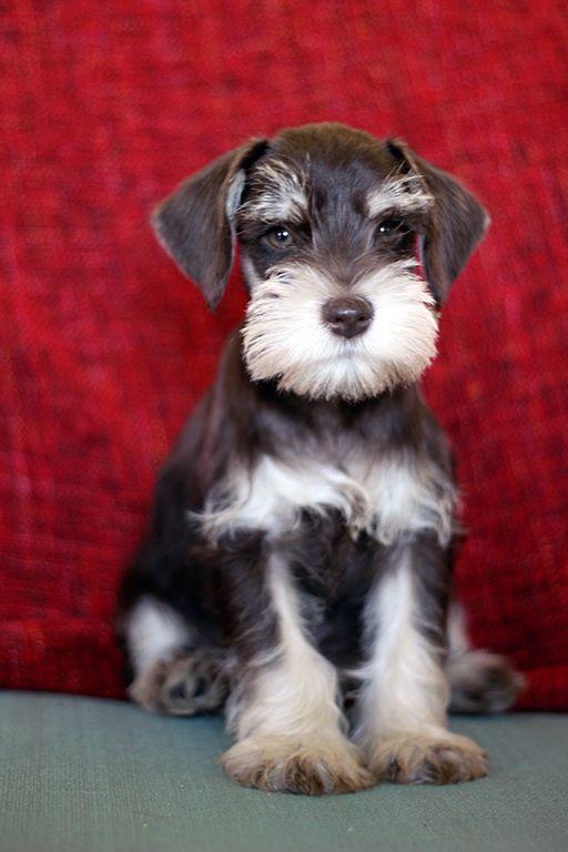hello, I am a schnauzer puppy and I'm pretty darned