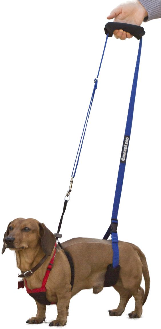 Here's a male Dachshund, recovering from back surgery, using a Mini GingerLead Dog Support & Rehabilitation Harness attached to his chest harness. Most slings may cover a male Dachshund's penis since it's located on their belly. Our Mini GingerLead can fit behind your Dachshund's penis allowing support without the sling getting soiled.