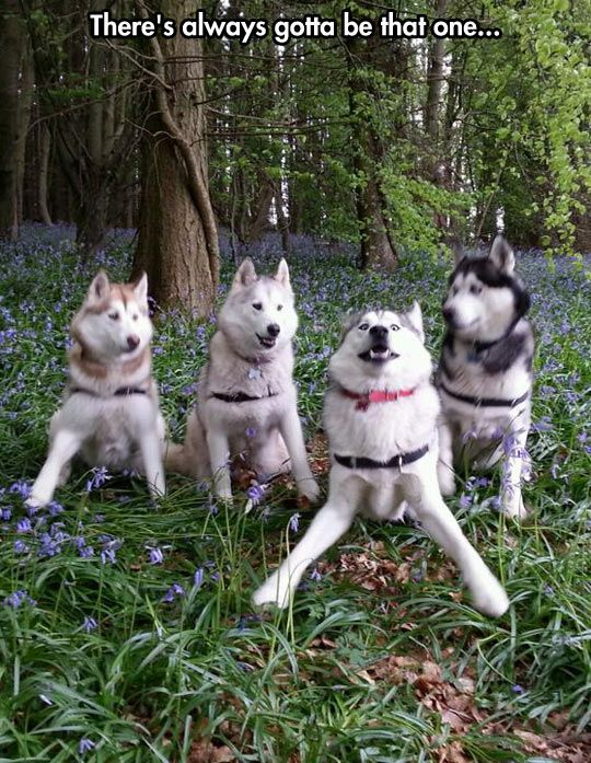 Here's an example of intense Huskie training during the off season.