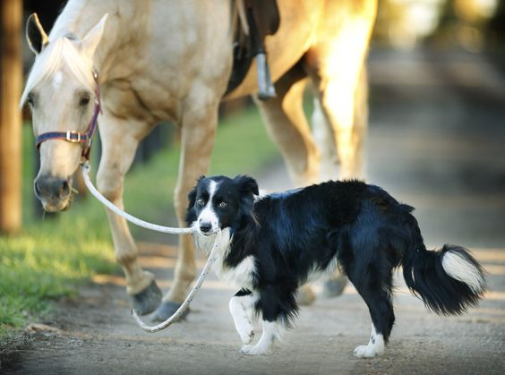 He's a one-year-old border collie who works at Equestrian Excellence in Melbourne. | This Is A Dog That Rides Horses And It's Utterly Brilliant
