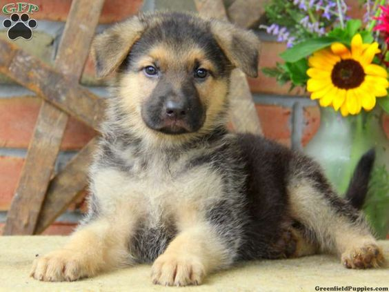 His name is Gage! German Shepherd Puppies For Sale In PA