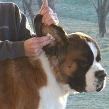 Homemade Remedies for Dog Ear Infections