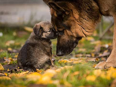 How to Introduce a Puppy to an Older Dog