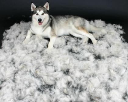 How to Minimize Shedding in Siberian Huskies, or camouflage it is more like