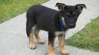 How to Potty Train a German Shepherd Puppy Within Five Days   eHow