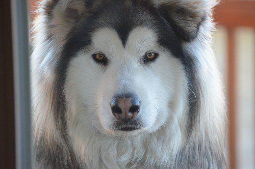 How To Train Alaskan Malamute Dogs