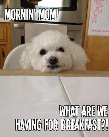 Hungry Bichon!