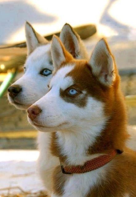 Huskies are wonderful pets!