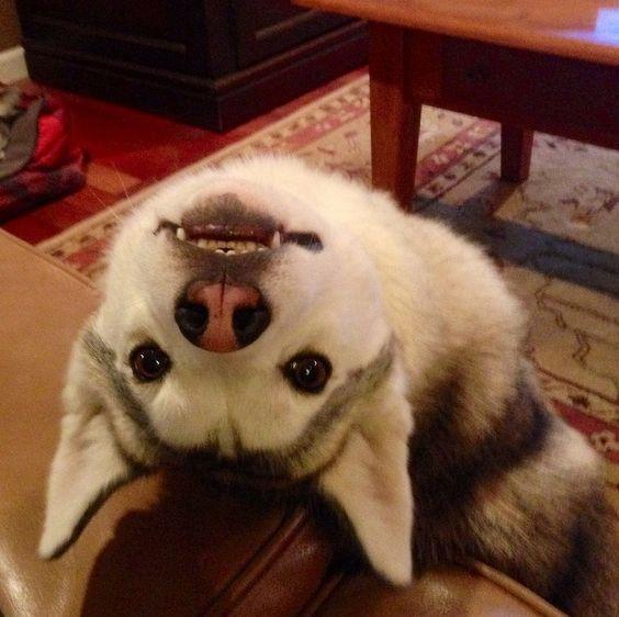 Husky love #dog